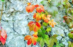 在古老岩石的葡萄树,背景 免版税库存照片