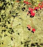 在古老岩石的葡萄树,背景 库存图片