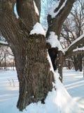 在古老橡树的巨大的积雪的树干的深凹陷在软的阳光下的 免版税库存图片
