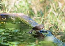 在古老石水池的亚高山带鸣鸟 免版税图库摄影