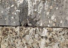在古老石头的蜥蜴 库存照片