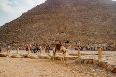 在古老金字塔附近的骆驼在开罗,埃及 免版税图库摄影