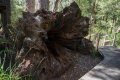 在古代人的谷的一棵大下落的树在Walpole附近的 库存图片