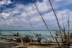 在古巴岸的干美洲红树 免版税库存照片