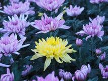 在另一种紫罗兰颜色中的一朵黄色菊花花在a 免版税库存图片