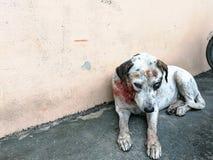 在叮咬以后的白色狗伤害 流浪狗军犬 库存图片