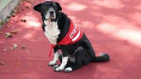 在可口可乐服装的滑稽的狗, cosplay 免版税图库摄影