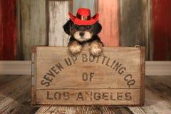 在可爱的背景的逗人喜爱的茶杯Yorkie Cale的小狗和支柱 免版税库存图片