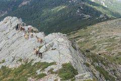 在可西嘉岛的山的山羊 库存照片