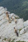 在可西嘉岛的山的山羊 免版税库存照片