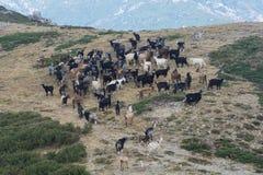 在可西嘉岛的山的山羊 图库摄影