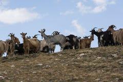 在可西嘉岛的山的山羊 免版税库存图片