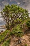 在可西嘉岛的海岸线的扭转的老杉树 库存照片