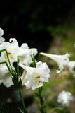 在台北植物园的百合花在台北,台湾 库存图片