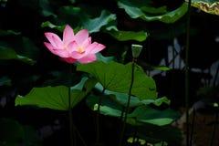 在台北植物园的莲花在台北,台湾 图库摄影
