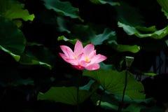 在台北植物园的莲花在台北,台湾 免版税库存图片