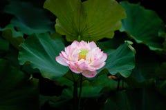 在台北植物园的莲花在台北,台湾 免版税库存照片