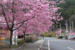 在台湾樱花视图 库存照片