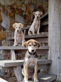 在台阶的三条狗 免版税库存照片