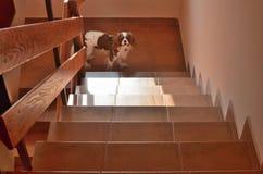 在台阶的小狗 免版税库存照片
