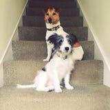在台阶的狗 图库摄影