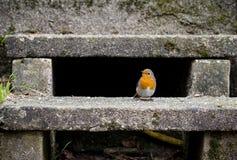 在台阶的罗宾在庭院里 免版税图库摄影