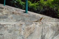 在台阶的蜥蜴 免版税库存图片