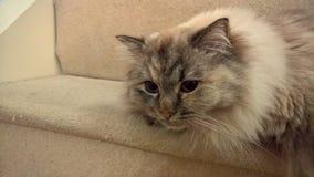 在台阶的Ragdoll小猫 免版税库存照片