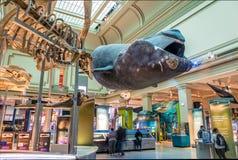 在史密森学会的全国自然历史博物馆的海洋霍尔-华盛顿, D的鲸鱼模型 C ,美国 免版税库存图片