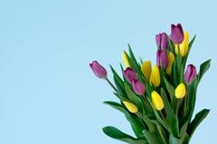 在右边ofl ight蓝色背景的黄色和violett郁金香 图库摄影