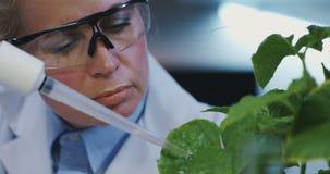 在叶子上的科学家落下的液体 股票视频