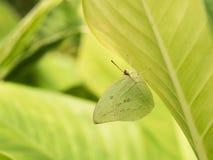 在叶子下的小蝴蝶伪装 库存图片