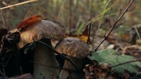 在叶子下的牛肝菌蕈类 股票视频
