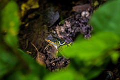 在叶子下的绿色变色蜥蜴推托 免版税库存照片