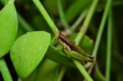 在叶子中的一只蚂蚱 免版税库存照片