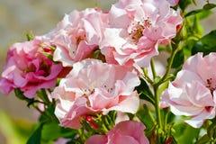 在叶子中的小桃红色玫瑰 免版税库存照片