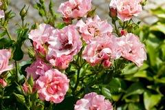 在叶子中的小桃红色玫瑰 免版税库存图片