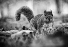 在叶子中的灰鼠 免版税图库摄影