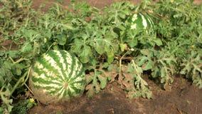 在叶子中的镶边西瓜在雨以后 股票录像