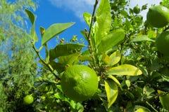 在叶子中的绿色柠檬在树 库存照片