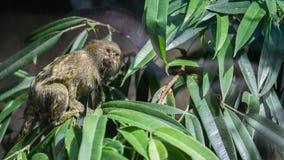 在叶子之间的一只成人侏儒狨猴子 免版税图库摄影