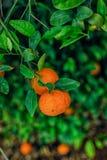 在叶子之间的两个蜜桔 库存照片