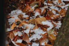 在叶子之间的冰雹 免版税库存照片