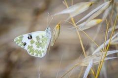 在叶子和绿色白色的蝴蝶 库存照片