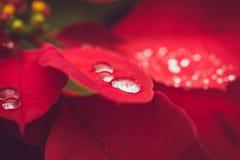 在叶子圣诞节植物的下落 免版税库存图片