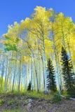 在叶子季节期间的高黄色和绿色白杨木 库存照片