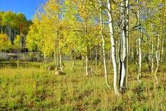 在叶子季节期间的高黄色和绿色白杨木 库存图片