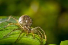 在叶子宏指令照片的蜘蛛 库存照片
