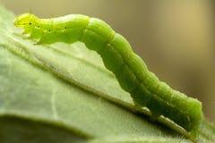 在叶子宏指令照片的毛虫 免版税库存照片