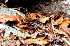 在叶子废弃物的一只蜥蜴 库存图片